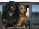 Dachshund Dogs Hang Out of the Rear Window of a Pick Up Truck Photographic Print by  xPacifica