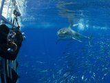 Great White Shark Swims Close to Divers in a Cage Photographic Print by Mauricio Handler