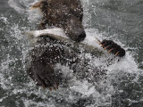 Brown Bear Catches a Salmon Fish in Kuril Lake Photographic Print by Randy Olson