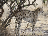 Male Cheetah Sprays to Mark His Territory in Kenya, East Africa Photographic Print by Mark Ross
