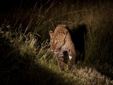 Leopard, Panthera Pardus, Hunting at Night Photographic Print by Roy Toft