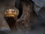 Endangered Giant Galapagos Tortoise Looking at the Camera Photographic Print by Mattias Klum