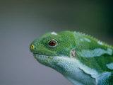 Fijian Banded Iguana at the Houston Zoo Photographic Print by Joel Sartore