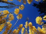 Blue Autumn Sky Contrasts with the Yellow Aspen Leaves Photographic Print by David Edwards