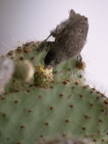 Cactus Finch, Geospiza Scandens, Feeding on Opuntia Cactus Bud Photographic Print by Mattias Klum