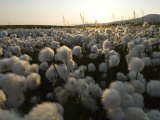 Cotton Grass, Alaska Photographic Print by Michael S. Quinton