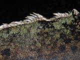 Close-up of Spines and Iridescent Scales on a Marine Iguana Photographic Print by Mattias Klum
