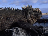 Close-up of a Marine Iguana on Volcanic Rock at the Shore Photographic Print by Mattias Klum
