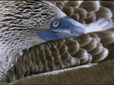 Close-up of a Blue-Footed Booby, Sula Nebouxii, Grooming Feathers Photographic Print by Mattias Klum