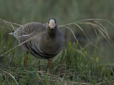 Greater White Fronted Goose (Anser Albifrons) Denali, Alaska Photographic Print by Michael S. Quinton
