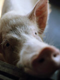 Close-up of a Large Pig on a Farm in Guangdong Photographic Print by  xPacifica