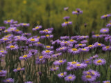 Lavender Daisy Flowers Photographed in Spring Photographic Print by Paul Damien