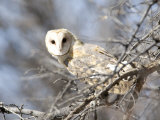 Barn Owl, Tyto Alba, Perched in a Tree Photographic Print by Roy Toft
