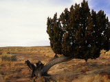 Juniper Tree Bent by the Wind Photographic Print by David Edwards