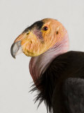 Critically Endangered California Condor, Gymnogyps Californianus Reproduction photographique par Joel Sartore