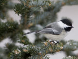 Black-Capped Chickadee, Poecile Atricapilla, in a Snow-Dusted Tree Photographie par John Cancalosi