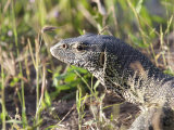 Close-up of a Monitor Lizard, Varanus Albigularis Photographic Print by Roy Toft