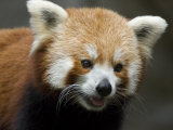 Captive Endangered Red Panda Photographic Print by Paul Sutherland