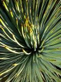 Grand Canyon, Plants, Northern Arizona, Agave Photographic Print by David Edwards