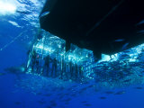 Great White Shark Swims Near Underwater Photographers in a Cage Photographic Print by Mauricio Handler