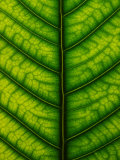 Backlit Close-up of a Fig Leaf, Ficus Species Photographic Print by Joe Petersburger