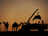 Hoist Lifts a Camel into a Truck for His Journey Home Photographic Print by Randy Olson