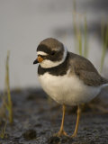 Semipalmated Plover (Charadrius Semipamatus), Alaska Photographic Print by Michael S. Quinton