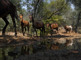 Protected Wild Horses Come to a Water Hole in Order of Dominance Photographic Print by Melissa Farlow