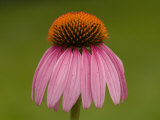 Close-up Detail of a Purple Coneflower Photographic Print by Paul Sutherland