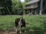 Tethered Goat Near an Old Homestead on a Farm Photographic Print by Raymond Gehman