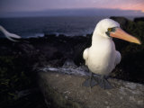 Masked Booby, Sula Dactylatra, Perched on a Rock at Twilight Photographic Print by Mattias Klum
