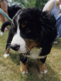Bernese Mountain Dog Puppy Photographic Print by Heather Perry