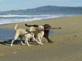 Three Labrador Retrievers on One Stick at Beach Photographic Print by Roy Toft