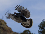 Wild Turkey, Meleagris Gallopavo, in Flight Photographic Print by Roy Toft