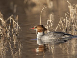 Female Common Merganser, Mergus Merganser, in Water Photographic Print by Roy Toft