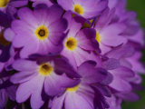 Close-up of a Cluster of Purple Primrose Flowers Photographic Print by Joe Petersburger