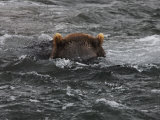 Brown Bear Fishing for Salmon in Kuril Lake Photographic Print by Randy Olson