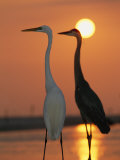 Great Egret, Egretta Alba, in Front with Blue Heron at Sunset Photographic Print by Roy Toft