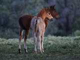 Two Foals Watch Studs Fight, Learning the Behavior They Will Imitate Photographic Print by Melissa Farlow