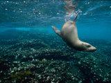Endangered Galapagos Sea Lion Swimming Underwater Fotografisk tryk af Mattias Klum