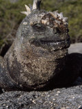 Close-up of a Marine Iguana Photographic Print by Mattias Klum