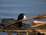 American Coot, Fulica Americana, with Material to Construct a Nest Photographic Print by John Cancalosi