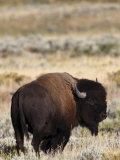 Bull Bison in Grand Teton National Park, Wyoming Photographic Print by Drew Rush