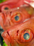 Fish Heads on Display at a Restaurant Photographic Print by  xPacifica