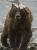 Brown Bear Photographic Print by Michael S. Quinton