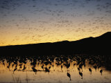 Flock of Sandhill Cranes, Grus Canadensis, in Water at Sunrise Photographic Print by Roy Toft