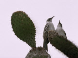 Pair of Galapagos Mockingbirds, Nesomimus Parvulus, on a Cactus Photographic Print by Mattias Klum