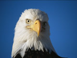 American Bald Eagle Portrait, Haliaeetus Leucocephalus Photographic Print by Roy Toft