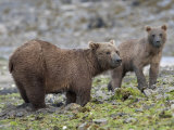 Alaskan Brown Bears Foraging for Food Photographic Print by Roy Toft