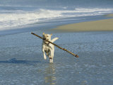 Labrador Retriever Running on Beach with a Stick in its Mouth Photographic Print by Roy Toft